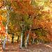 Birch / American oak Alley...