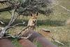 Last fox standing!