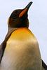 Königspinguin - zweitgrösste Pinguinart (© Buelipix)