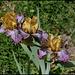 Iris Temporal Anomaly