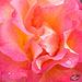 323/366: Sherbert Rose
