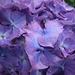 Purple Hydranga detail