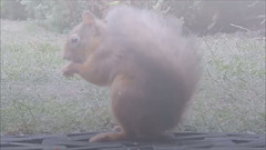 Monday morning Breakfast for our young red squirrel