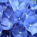 Blue Hydranga detail