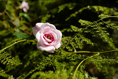 Aspargus setaceus, Rosa de Saxe, Eden Garden, Cascais