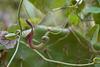 Aristolochia baetica, Natural elegance...