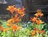 Lis orangé au jardin, Lilium bulbiferum, Liliacées