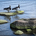 #13 a water bird (duck/swan/moorhen etc)*
