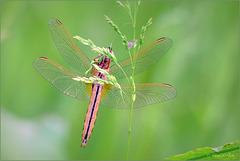 Broad Scarlet, Scarlet Darter ~ Vuurlibel (Crocothemis erythraea), Female ♂