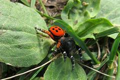 Eréside (araignée)