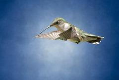 Hummingbird hovering.
