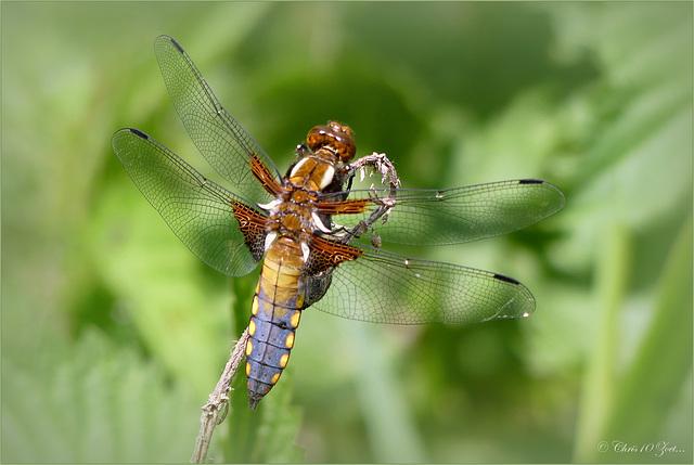 Broad-bodied Chaser ~ Platbuik (Libellula depressa) male ♀