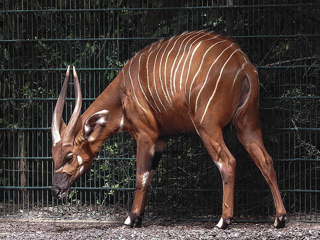 20170615 1915CPw [D~MS] Bogo (Tragelaphus euryceros), Zoo Münster