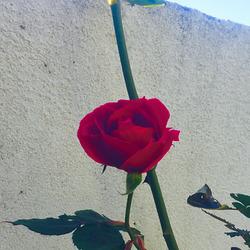La rose, le mur et mes doigts ...