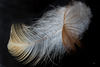 Feathers (MM 2.0) (3 PiPs)