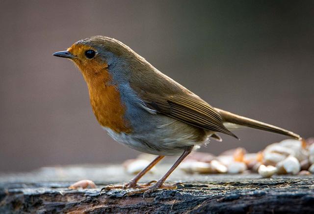 Robin 7jpg