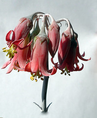 succulente campanelle