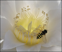 Eupeodes corollae, A member of Hover Flies Family, Syrphidae + Echinopsis subdenudata
