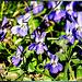 Veilchen.  (Viola) ©UdoSm