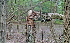 An Old Fence and Broken Tree