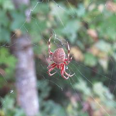 Orb-weaving spider - prob. genus Araneus