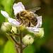 Hony Bee on Rose 01