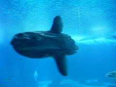 Sunfish (Mola mola).