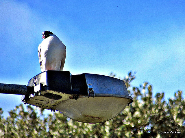 Pigeon On a Pole.
