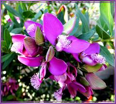 In voller Blüte...  ©UdoSm