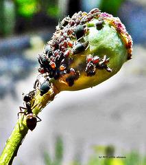 die Opium-Sammler (3 PiP)
