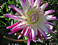 Dahlia Beauty