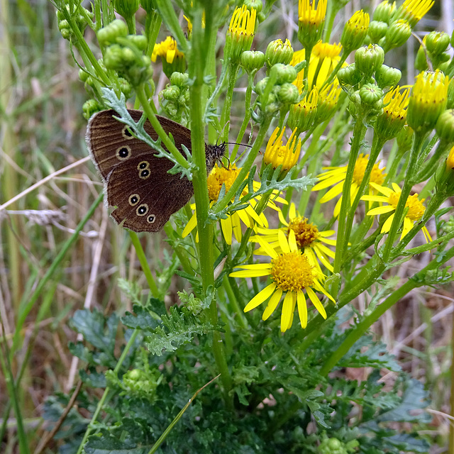 Ringlet butterfly playing hide and seek in the ragwort