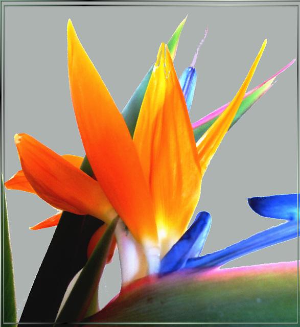 Farben der Strelitzie. ©UdoSm