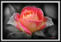 Une rose pour vous tous