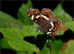 Map Butterfly / European Map ~ Landkaartje (Araschnia levana) in Summer cloths...