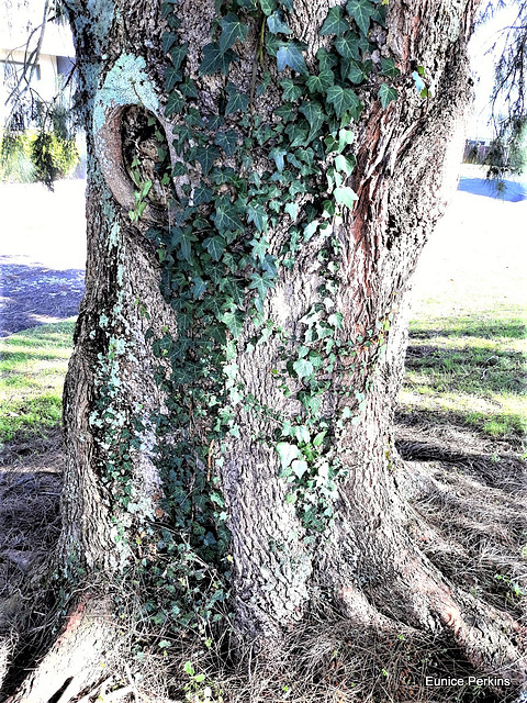 Ivy On A Tree Trunk.