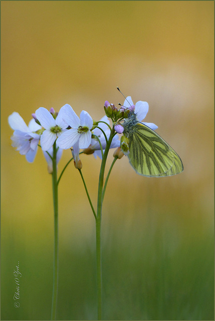 Green-veined White  ~ Klein geaderd witje (Pieris napi)...