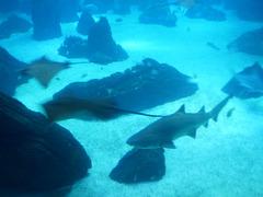 Bull shark (Carcharias taurus).