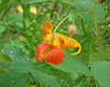 impatiente du cap / spotted jewelweed