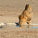 Namibia, Lion at the Watering Hole in Etosha National Park