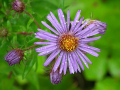 aster de Nouvelle-Angleterre / New England aster