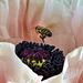Mohnlandung , Schlafmohn (Papaver somniferum) während der Blüte