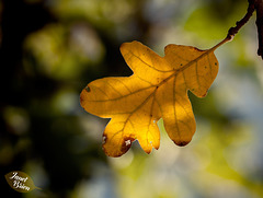 192/366: Golden White Oak Leaf