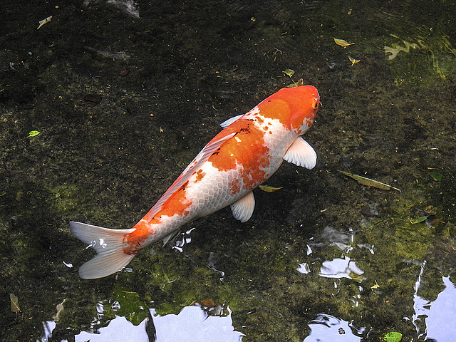 20170615 1932CPw [D~MS] Koi, Zoo Münster