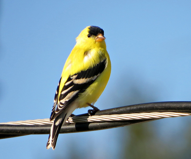 Goldfinch, male, summer plumage