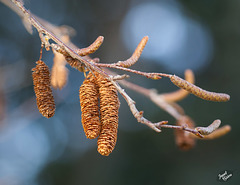Pictures for Pam, Day 71: Birch Tree Catkins