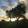 Sunset in the olive grove.