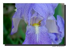 Iris douceur