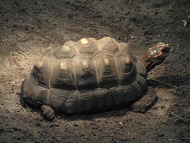 20170615 1941CPw [D~MS] Schildkröte, Zoo Münster