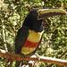 20170527 1717CPw [D~LIP] Braunohrarassari (Pteroglossus castanotis) [Schwarzkehlarassari], Vogelpark Detmold-Heiligenkirchen